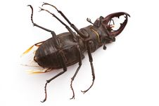 Free Stag Beetle (male) Stock Photo - 21773790