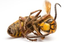 Free Wasp Stock Images - 21773814