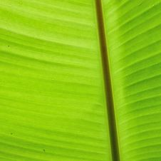 Free Fresh Green Banana Leaf With Small Water D Stock Image - 21773951