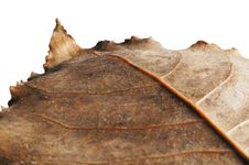Free Dried Leaf Isolated On White Stock Photo - 21774730