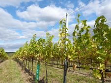 Free Vineyard Stock Photo - 21774850