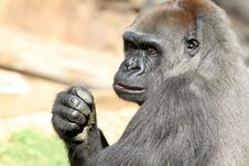 Free Gorilla Royalty Free Stock Photos - 21777298