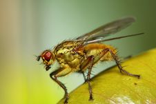 Free Golden Fly Stock Image - 21778291