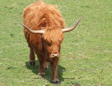 Free Red Highland Cow - Kyloe Royalty Free Stock Photography - 21778497