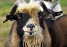 Free Goat Stock Images - 21778624
