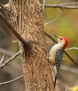 Free Red-bellied Woodpecker, Perched Royalty Free Stock Photo - 21784725