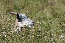 Free Goat Hide In The  Grass Stock Photos - 21780503
