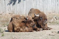 A Pair Of Buffalo Stock Photos
