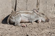 Free Little Wild Pig Royalty Free Stock Images - 21780849