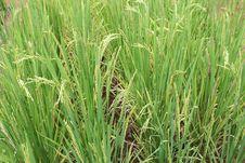 Free Green Paddy Plants Stock Photos - 21785453