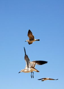 Free Seagulls Flying Royalty Free Stock Photography - 21787057