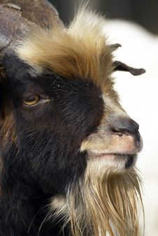 Free Goat Royalty Free Stock Photography - 21792457