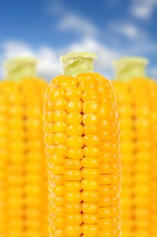 Free Corn Over Blue Sky Background Royalty Free Stock Photography - 21794547