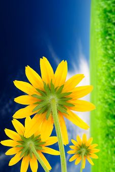 Yellow Flowers On Summer Background Royalty Free Stock Photos