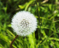 Free Blowball Stock Images - 2180694