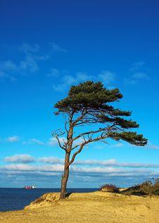 Free Pine Stock Image - 2180061