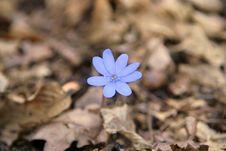 Free Blue Spring Flower Stock Photo - 2180160