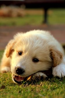 Free Nice White Labrador Stock Image - 2183471