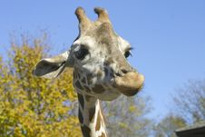 Free Giraffe Close Up Royalty Free Stock Photo - 2183885