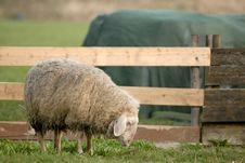 Free Thoughtful Sheep Stock Photo - 2185070