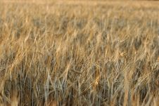 Free Golden Wheat Field Royalty Free Stock Images - 2185589