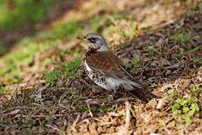 Free Brown Bird Royalty Free Stock Image - 2185776