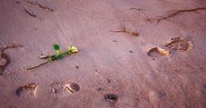 Free Flower On The Beach, Footsteps Royalty Free Stock Photo - 2185915