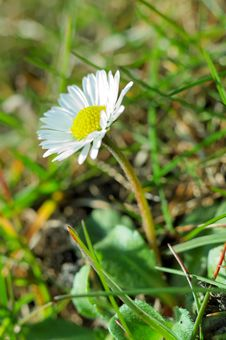 Free Single Daisy Stock Photos - 2186183
