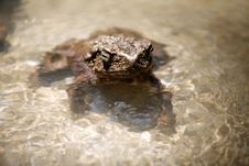 Free Frog Royalty Free Stock Images - 2186409