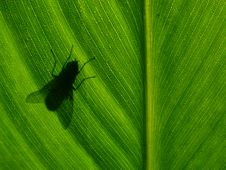 Free Shadow Of Fly Royalty Free Stock Image - 2187206