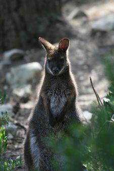 Free Kangaroo Royalty Free Stock Images - 2187809