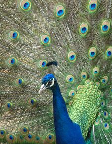 Free Peacock Displaying Feathers Royalty Free Stock Photos - 2187818