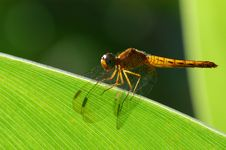 Free Dragonfly Royalty Free Stock Photo - 2188695