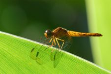 Free Dragonfly Royalty Free Stock Images - 2188699