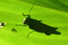 Free Leaf And Grasshopper Stock Photo - 2188700