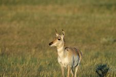 Free Pronghorn Antelope Royalty Free Stock Photography - 2188827