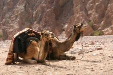 Free Camel Travel Stock Images - 2189254