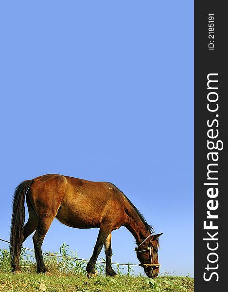 Horse Feeding on Grass