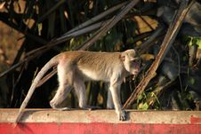 Free Long-tailed Macaque Monkey In Rain Forest Park Stock Photos - 21800833