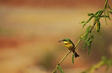 Free Little Bee-eater Royalty Free Stock Image - 21800866