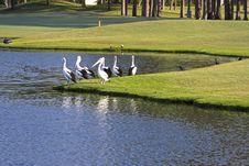 Free 7 Pelicans Stock Image - 21805221