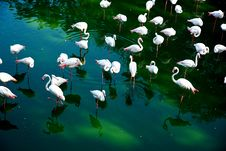 Free Group Of Flamingos Stock Photos - 21805523