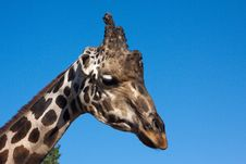 Free Portrait Of A Giraffe Stock Image - 21814971