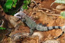 Free Iguana Portrait Stock Image - 21816901