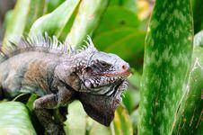 Free Iguana Portrait Royalty Free Stock Photo - 21816905