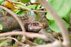 Iguana Portrait Royalty Free Stock Photography
