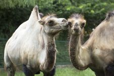 Free Two Camels Stock Photography - 21818642