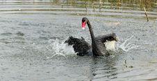 Free Black Swan Dance Stock Photography - 21820812