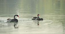 Free Black Swan Dance Stock Photography - 21820962