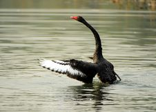 Free Black Swan Dance Royalty Free Stock Photography - 21821057